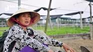 TP Vinh: Giá rau xanh 'rớt thảm', dân đổ bỏ đầy ruộng