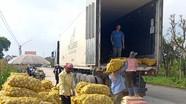 Nghệ An: Khoai tây được mùa được giá, nông dân phấn khởi
