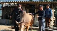 Người Mông ở Nghệ An rốt ráo chọn bò thi chọi ngày đầu năm