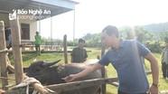 Nghĩa Đàn: Tiêm hơn 43.000 liều vắc xin phòng bệnh cho đàn gia súc