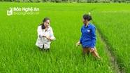 Gần 700 ha lúa hè thu ở Con Cuông bị sâu bệnh gây hại