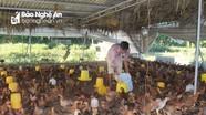 Từ bỏ mức lương hấp dẫn ở thủ đô để về quê nuôi gà