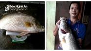 """Nghệ An: Bắt được cá vược """"khủng"""" ở lòng hồ thủy điện Hủa Na"""