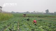Rau vụ đông tăng giá 30%, nông dân phấn khởi
