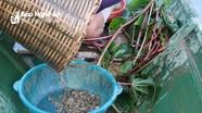 """""""Săn"""" nòng nọc làm món đặc sản, nông dân rẻo cao Nghệ An thu tiền triệu mỗi ngày"""
