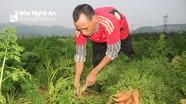 Giá cà rốt tăng gấp đôi, nông dân Nam Đàn vẫn buồn vì thất thu