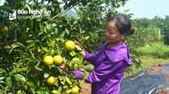 'Tuyệt chiêu' dùng thuốc lào, hoa cúc trị bệnh cho cam ở Nghệ An