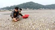 Xót xa nhìn ngao chết trắng bãi ở Nghệ An