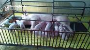 Lợn giống đắt gấp 2-3 lần, người chăn nuôi ở Nghệ An khó tái đàn