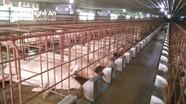 Giá lợn hơi ở Nghệ An giảm mạnh