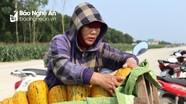 Dưa bở chính vụ tiêu thụ mạnh, nông dân Nghệ An lãi đậm
