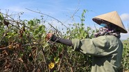 Cây đặc sản chết rũ ngoài đồng, nông dân Nghệ An thất thu tiền tỷ