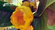 Quế Phong: Vì sao khó mở rộng diện tích chè hoa vàng?