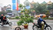 Dịch vụ chở cây cảnh Tết: Xích lô 'ngồi chơi', xe máy làm không hết việc