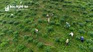 Cận cảnh mùa hái chè Shan tuyết ở Kỳ Sơn