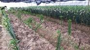 Nghệ An: Kẻ gian nhổ trộm 1.400 cây hoa ly Tết của nông dân