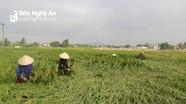 Yên Thành khắc phục hơn 500 ha lúa xuân đổ do mưa lớn