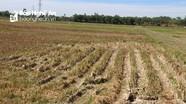 Nghi Lộc: 2.500 ha lúa hè thu không có nước để sản xuất