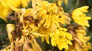 Ế ẩm, nông dân Yên Thành đành nhìn đồng hoa cúc rữa nát
