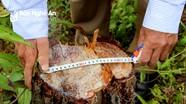 Điều tra việc chặt phá rừng thông ở Hưng Nguyên