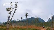 Xung quanh dự án trồng gỗ dổi ở Đô Lương