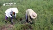 Khoanh nuôi cây rành rành làm chổi trện cho thu nhập cao