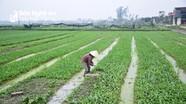 Thu 9 tỷ đồng mỗi năm từ trồng rau mùi tàu