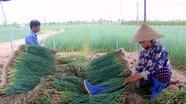 """Giá hành hoa """"rớt thảm"""", nông dân Quỳnh Lưu thất thu"""