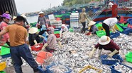 Nghệ An: 6 tháng đánh bắt trên 70 nghìn tấn hải sản