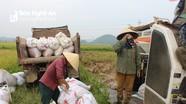 Ứng phó với thiên tai, nông dân khẩn trương thu hoạch lúa hè thu