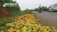Cam Quỳ Hợp rụng non, người dân bán 3.000 đồng/kg