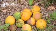 Nông dân ở vùng trồng cam nhiều nhất Nghệ An bất lực nhìn vườn cây bị bệnh