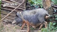 Dịch tả lợn châu Phi bùng phát thêm ở 4 xã của huyện biên giới Kỳ Sơn