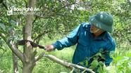 Nghệ An: Vùng cam Vinh phá bỏ gần 500 ha do sâu bệnh và nắng hạn