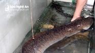 Người dân Nghệ An lại bắt được cá lệch 'khủng' dài 1,6m