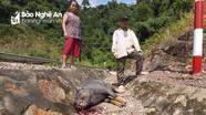 Dịch tả lợn châu Phi bùng phát nhưng người dân vùng biên Kỳ Sơn lại lơ là, chủ quan