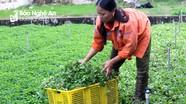 Đưa rau má hoang dại về trồng tại vườn nhà, nông dân Nghệ An thu cả trăm triệu