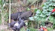 Khó tái đàn, lợn đen miền Tây Nghệ An giá cao chưa từng có
