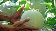 Dưa lưới trồng ngoài trời ở Nghệ An trĩu quả, đắt hàng ngày nắng nóng