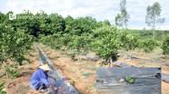 Muôn kiểu chống hạn cho cây 'tiền triệu' trong nắng gắt ở Nghệ An