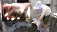 Được 'lợi kép', nông dân Nghệ An đổ xô 'săn' ốc bươu vàng bán cho thương lái