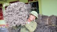 Nông dân Nghệ An kiếm bộn tiền từ trồng nhân trần trên đất khô hạn