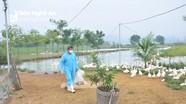 Thêm trại vịt ở Yên Thành nhiễm dịch cúm gia cầm A/H5N6