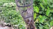 Độc đáo cách dùng bẫy săn chuột đồng của nông dân Nghệ An