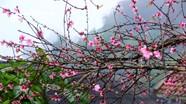 Đào bung nở trước 2 tháng, người dân vùng cao Nghệ An lo mất Tết