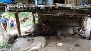 Sét đánh làm chết 4 con trâu ở huyện miền núi Nghệ An