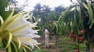 Bí kíp trồng thanh long ruột đỏ có hàng trăm triệu mỗi năm của lão nông Nghệ An