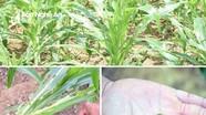 Nghệ An: 1.400 ha ngô vụ đông xơ xác lá do sâu keo mùa thu