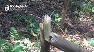 Vườn keo của một trưởng bản ở Nghệ An bị kẻ xấu chặt hạ