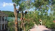 Vụ chặt tỉa 2 cây xà cừ cổ thụ ở Nghệ An: Hiệu trưởng xin lỗi và nhận hoàn toàn trách nhiệm